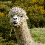 Alpaca thumbnail