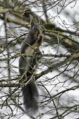 Ecureuil (CloLachat) Tags: arbre branches nature petitecamarguealsacienne écureuil