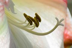 Amaryllis (Close-up) (KPPG) Tags: closeup makro 7dwf blume flower amaryllis macromademoiselle