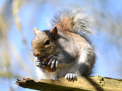 Time for lunch. (pstone646) Tags: squirrel nature animal wildlife closeup fauna mammal rodent tree ashford kent bokeh sunshine