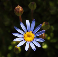 Blue Daisy (ekaterina alexander) Tags: blue daisy spring flower flowers bud buds ekaterina england alexander sussex nature photography pictures