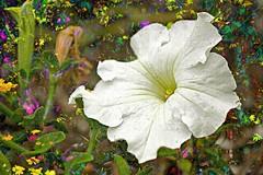 IMG_1622 Petunia de primavera (Spring petunia) (Rodolfo Frino) Tags: petunia spring primavera flor flower white flowers plant flora natur natura nature natural naturaleza petuniadeprimavera springpetunia flores