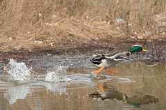 Mallard Duck 4-5-2017-3 (Scott Alan McClurg) Tags: aplatyrhynchos anas anatidae anseriformes flickr bird blue duck flap flapping flickrbirds flight fly flying life mallard migrate nature neighborhood sky spring waterfowl wild wildlife delaware