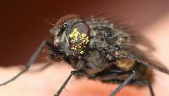 Polleneyetor! (ashperkins) Tags: eyesofmarch eye flyeye pollen fly ashperkins macro bbcwalesnature