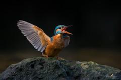 Pas commode ! (Franck Sebert) Tags: common oise martinpêcheur deurope kingfisher alcedo atthis defense territoire oiseau animal extérieur 2017 eos1dx 1dx ef2x avril april colors