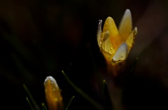 flower 1116 (kaifudo) Tags: sapporo hokkaido japan flower crocus 札幌 札幌市 北海道 クロッカス nikon d810 sigmaapomacro150mmf28 sigma 150mm macro spring kaifudo