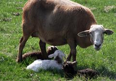 Triplet ewes (baalands) Tags: katahdin hair sheep ewe red triplets lambs pasture spring farm