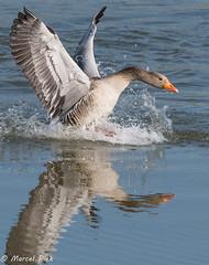 Biesbosch - Goose landing (CapMarcel) Tags: biesbosch goose geese duck canadian nikon d500 500mm