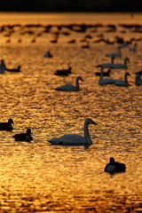 On golden something or other (ranzino) Tags: middlecreekwildlifemanagementarea pa pennsylvania snowgeese stevens animal bird birds silhouette sunrise newmanstown unitedstates us
