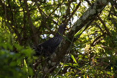 African Olive Pigeon, Dwesa GR, Eastern Cape, Dec 2016 (roelofvdb) Tags: 2016 350 africanolivepigeon date december dwesa dwesa16 pigeon pigeonafricanolive place southernafricanbirds year