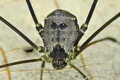 Opiliones, Cosmetidae, Flirtea valida (Roewer, 1928) (aracnologo) Tags: arachnida arachnid aracnídeo opiliones opilião harvestman harvestmen gonyleptoidea cosmetidae roquettea flirteavalida flirtea