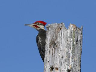 Grand Pic mâle - Pileated Woodpecker