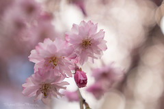 Cheery Cherry Blossoms...another Triptych II (Stephanie Sinclair) Tags: cherryblossoms blossoms bokeh pink spring springtime pnw canon sigma youmakemesmile