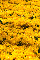 Keukenhof 28 March 2017 (JamesPDeans.co.uk) Tags: landscape flowers plants nature prints for sale garden digital downloads licence man who has everything keukenhof crocusses colour gardens yellow netherlands park landscapeforwalls europe wwwjamespdeanscouk james p deans photography digitaldownloadsforlicence jamespdeansphotography printsforsale forthemanwhohaseverything