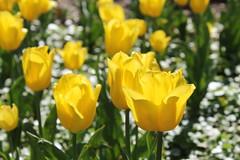 Sherwood Gardens ~ Yellow Tulips (karma (Karen)) Tags: baltimore maryland guilford gardens sherwoodgardens flowers tulips dof bokeh hbw cmwd topf25