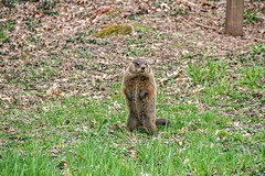 Groundhog upright 5 (sw_bobster) Tags: groundhog woodchuck mammal wild