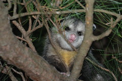 Staying Safe In The Tree (vbvacruiser - On/Off Due To Illness) Tags: virginia virginiabeach mammal tree pine opossum