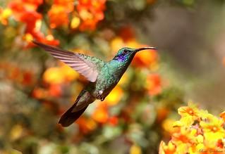 Colibrí orejivioleta verde | Green Violet-ear (Colibri thalassinus)