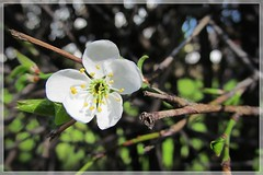 Spring picture :) (green_lover) Tags: flower blossom twig nature spring white frame five