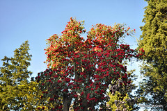 A Tall Rhododendron. (mcgrath.dominic) Tags: rhododendrons botanicgardens kilmacurragh cowicklow