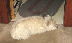"""3/12B ~ """"Riley's Bad Habit"""" (ellenc995) Tags: riley westie westhighlandwhiteterrier 12monthsfordogs17 habit doorway thegalaxy coth thesunshinegroup rubyphotographer coth5 supershot sunrays5 challengeclub ruby3 pet100 pet500 abigfave akob 100commentgroup citrit pet1500 pet1000"""