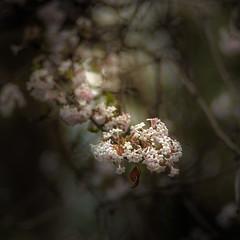 Restless (hploeckl) Tags: spring nature pentacon vintageprime 13528 bokeh tree light botanicalgarden st gallen switzerland blossom blossoms forest wood woodland