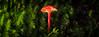 (C) 2017 Gerard Blacklock, all rights reserved (Gerard Blacklock) Tags: gerardblacklockgerry blackheath bluemountains coachwood fungi macro megalong megalongvalley