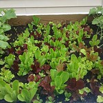 Getting bigger every day. 117/365 #365project #365 #vegetablegarden thumbnail