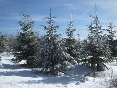 Snowy trees dancing in formation.... Fichtelberg, Saxony...... (Sue - happy sparrow) Tags: firtrees fir pine trees snow weather mountain fichtelberg saxony germany sunshine