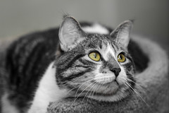 Cat (Andrew wildlife) Tags: cat animal portrait pet canon 100mm macro selectivecoloring bw