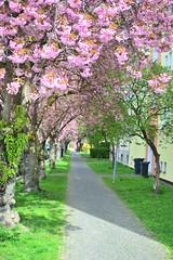 Springtime in Budweis ii (tewhiufoto) Tags: sigma nikon d3100 tewhiufoto 30mm f14 sigma30mmf14 southbohemia hanami blossoms