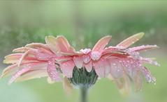 Peach Gerbera (Mazzlo) Tags: synecdoche flickr friday gerbera peach pink flower nikon d5500 droplets dew water