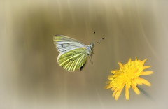 Pieris napi (PEE-err-iss NAY-py) (Nickerzzzzz - Thanks for stopping by :)) Tags: ©nickudy nickerzzzzz theartofphotography canoneos5dmarkiii ef100mmf28lmacroisusm flight wings photograph lepidoptera hesperioidea wildlife nature butterfly pierisnapi greenveinedwhite animal outdoor