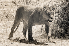Lions in Chobe National Park (Willie Jarl Nilsen) Tags: lion safari africa chobe nature wildlife