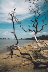 Dead trees (Mantere) Tags: bali indonesia sanur snag tree dead beach sea ocean blue teal