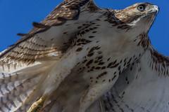 Red-Tailed-Hawk_MFD1103-FLNS-2 (M F Davis) Tags: redtailedhawk juvenile eastern hawk redtailed madison wisconsin madisonwisconsin flyingovercamera veryclose closeup flyingtowardthecamera flyingoverthecamera approaching flickrbirds