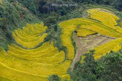 _Y2U7145.1015.Tĩnh Túc.Nguyên Bình.Cao Bằng (hoanglongphoto) Tags: asia asian vietnam northvietnam outdoor landscape scenery vietnamlandscape vietnamscenery vietnamscene people landscapewithpeople terraces terracedfieldsinvietnam dale harvest hillside treehill canon canoneos1dx canonef70200mmf28lisiiusmlens đôngbắc caobằng nguyênbình tĩnhtúc phongcảnh lúachín mùagặt ruộngbậcthangcaobằng lúachíncaobằng mùagặtcaobằng phongcảnhcóngười thunglũng sườnđồi đồicây ruộngbậcthang northeastvietnam