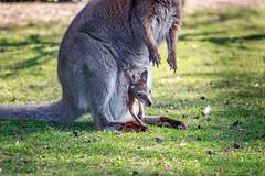 Wallaby (matyasgyenes) Tags: nature wild life light animal baby babyanimal belgium belgie beveren kangaroo kangoeroe wallaby wallabie australië australi australian outdoor