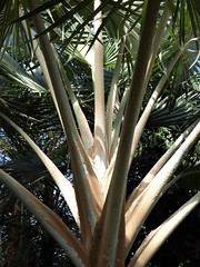 Chicago, Garfield Park Conservatory, Palms in the Sun (Mary Warren (8.2+ Million Views)) Tags: chicago garfieldparkconservatory nature flora green plant leaves foliage trees palms palmtree