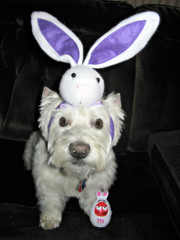 4/12A ~ Happy Easter from Riley! (ellenc995) Tags: riley westie westhighlandwhiteterrier 12monthsfordogs17 easter thegalaxy coth thesunshinegroup coth5 fantasticnature alittlebeauty rubyphotographer 100commentgroup ruby3