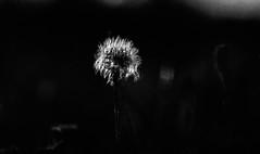 B&W Film 645 (jo.seppy) Tags: m645 400 rpx rollei fleur flowers
