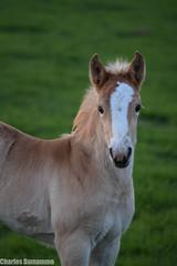 Poulain d'un soir (Charles Damamme) Tags: cheval poulain animal animaux photo promenade paysage animaliere eau chien herbe étalon etalon exterieur cascade normandie