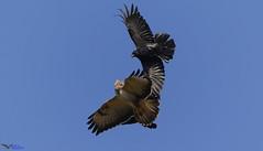 Ravens attacking a Buzzard. (Explored) (spw6156 - Over 5,500,406 Views) Tags: ravens attacking buzzard iso 640heavily cropped copyright steve waterhouse explored