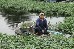 lady harvesting morning glory from a raft (the foreign photographer - ฝรั่งถ่) Tags: woman harvesting morning glory raft khlong thanon portraits bangkhen bangkok thailand canon kiss