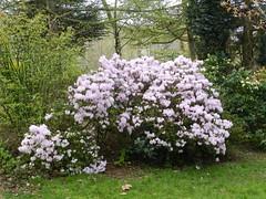 Rhododendron Bush, Kelvingrove Park, Glasgow, April 2017 (allanmaciver) Tags: rhododendron bush big sturdy strong show display kelvingrove glasgow city counsil open space green lilac admire allanmaciver