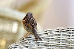 Shy Bird on Wicker (Brian 104) Tags: bird back wicker chair focus