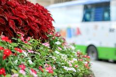 Color pop in Sidewalk (Enticing Dreams) Tags: kualalumpur sidewalk street coleus vinca vincarosea flowers