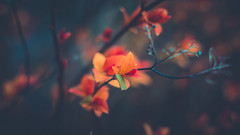 Spring in cinematic colours (Dhina A) Tags: sony a7rii ilce7rm2 a7r2 meoptabelar 75mm f45 meoptabelar75mmf45 prime manuallens enlarginglens enlarging squarebokeh square bokeh 4blades spring leaves cinematic colours colors garden orange teal