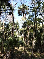 Florida, Silver Springs State Park, Fan Palms and Forest (Mary Warren (8.2+ Million Views)) Tags: florida fl nature flora plants green leaves foliage silverspringsstatepark forest trees palmtrees fanpalms