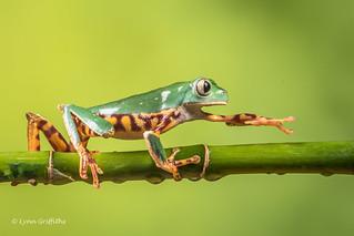 Super Tiger Legged Waxy Monkey Leaf Frog D50_8088.jpg